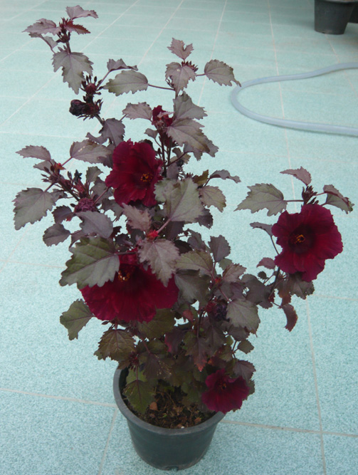 maple_hibiscus