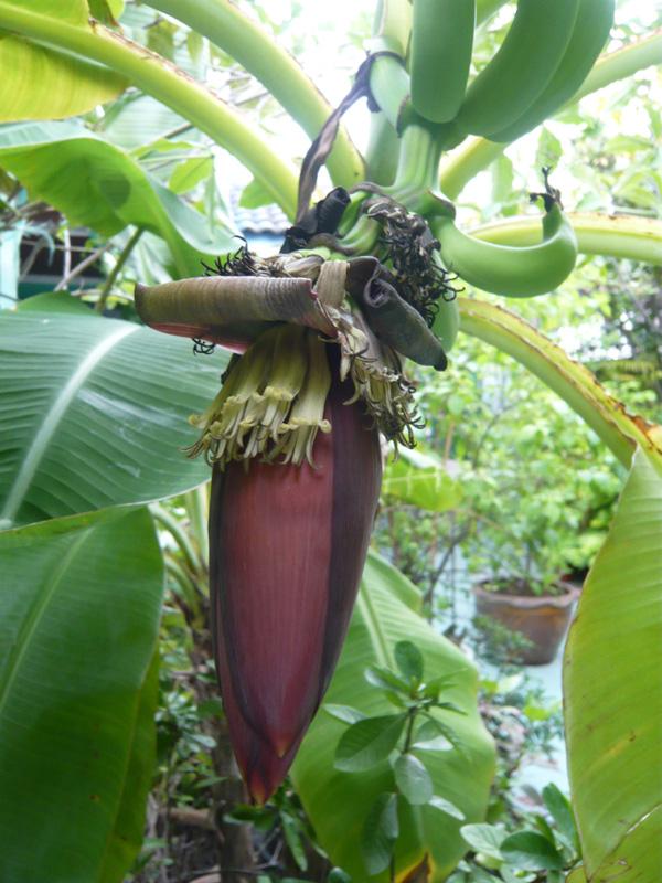 Banana-flower-2