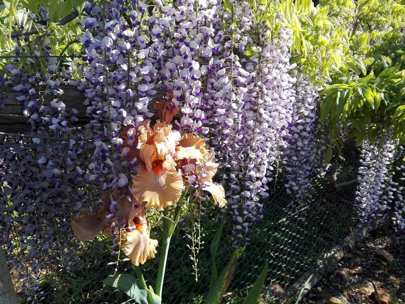 wisteria01